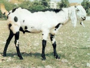 Order Qurbani Animals Online – Hassle Free Process